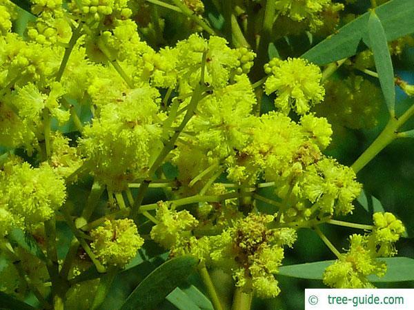 quorn wattle (Acacia quornensis) yellow blossom