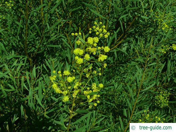 quorn wattle (Acacia quornensis) blossom