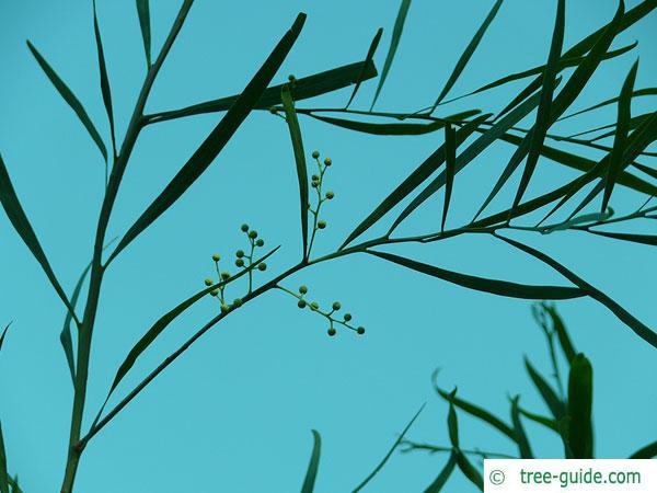 quorn wattle (Acacia quornensis) blossoms