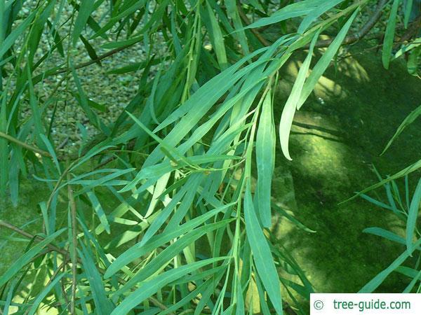 quorn wattle (Acacia quornensis) leaf
