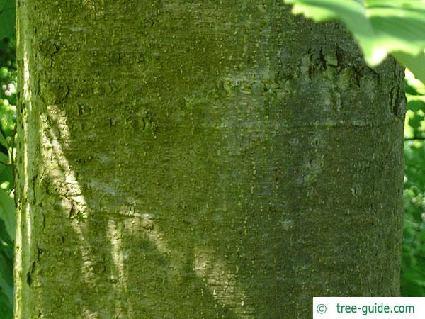 red alder (Alnus rubra) trunk / bark