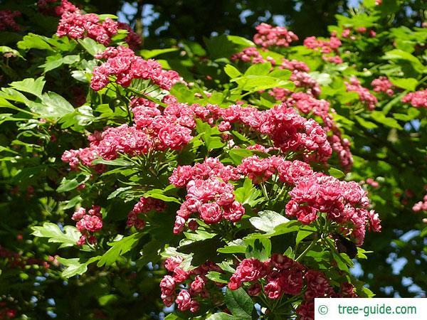 redthorn (Crataegus laevigata 'Paul's Scarlet') blossoms