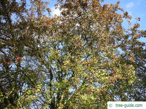 redthorn (Crataegus laevigata 'Paul's Scarlet') tree in summer