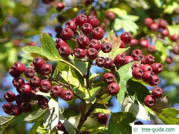 redthorn (Crataegus laevigata 'Paul's Scarlet') fruits in autumn