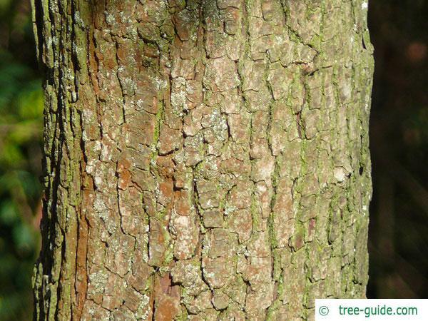 redthorn (Crataegus laevigata 'Paul's Scarlet') trunk / bark