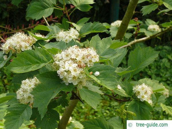 redhaw hawthorn(Crataegus sanguinea) blossoms