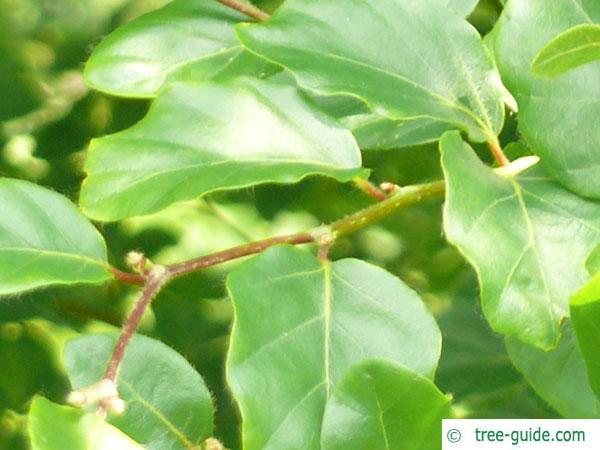 round-leaved beech (Fagus sylvatica 'Rotundifolia') leaf arrangement