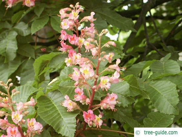 ruby horsechestnut (Aesculus carnea) flower