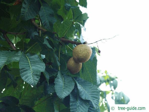ruby horsechestnut (Aesculus carnea) fruit