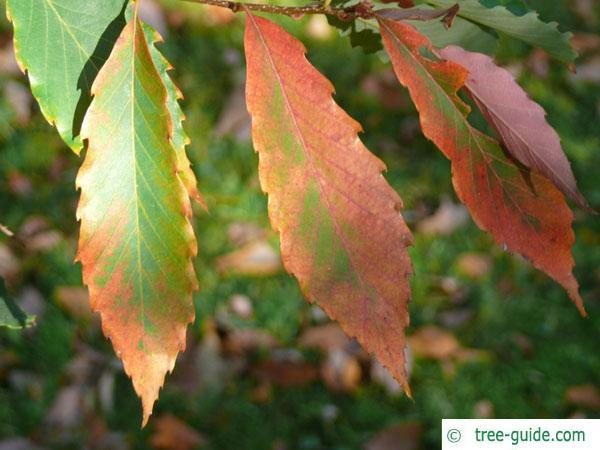 sawtooth oak (Quercus acutissima) autumn foliage