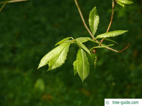 sawtooth oak (Quercus acutissima) leaf