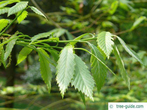 sawtooth oak (Quercus acutissima) leaves
