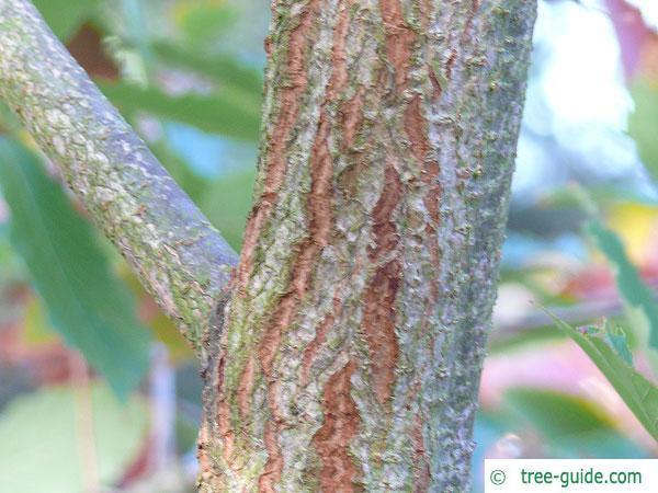 sawtooth oak (Quercus acutissima) trunk / bark