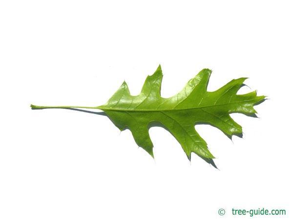 scarlet oak (Quercus coccinea) leaf underside