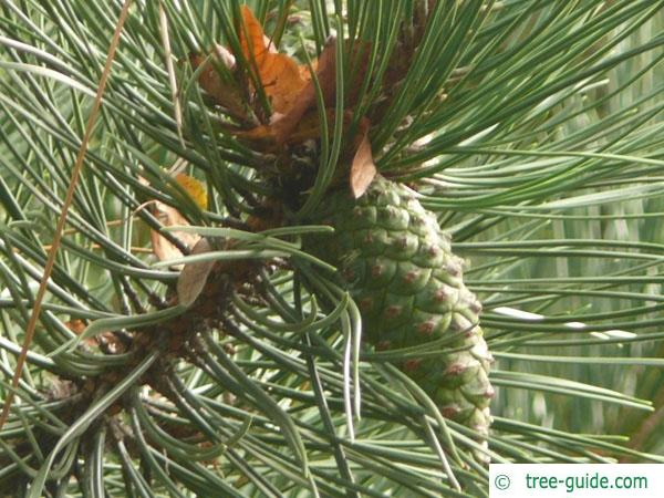 scotch pine (Pinus sylvestris) cone