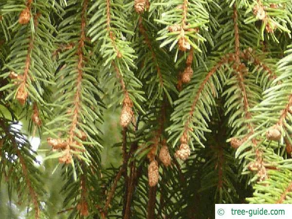 serbian spruce (Picea omorika) branch tips
