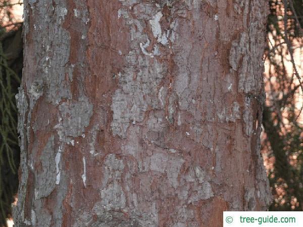 serbian spruce (Picea omorika) trunk