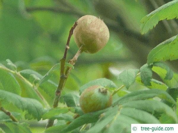 service tree (Sorbus domestica) fruit