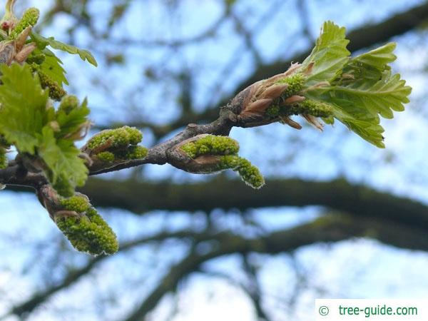 sessile oak (Quercus petraea) budding in spring