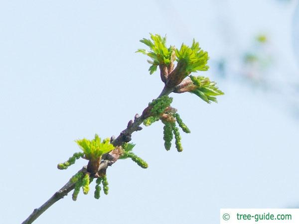 sessile oak (Quercus petraea) flower