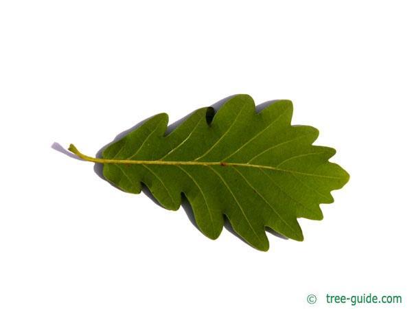 sessile oak (Quercus petraea) leaf underside