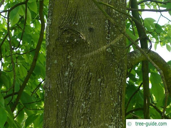 shagbark hickory (Carya ovata) trunk / bark