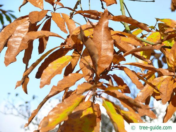 shingle oak  (Quercus imbricaria) foliage in autumn