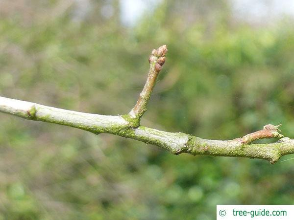 shingle oak  (Quercus imbricaria) axial buds