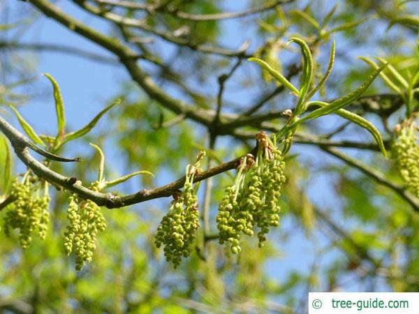 shingle oak  (Quercus imbricaria) budding in spring
