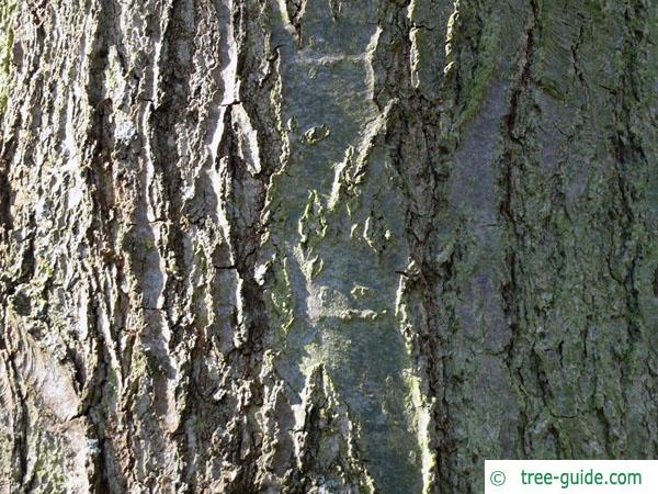 shingle oak  (Quercus imbricaria) trunk / bark
