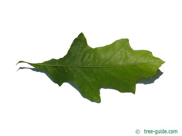 shumard oak (Quercus shumardii) leaf underside