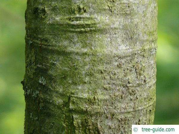 shumard oak (Quercus shumardii) trunk / bark