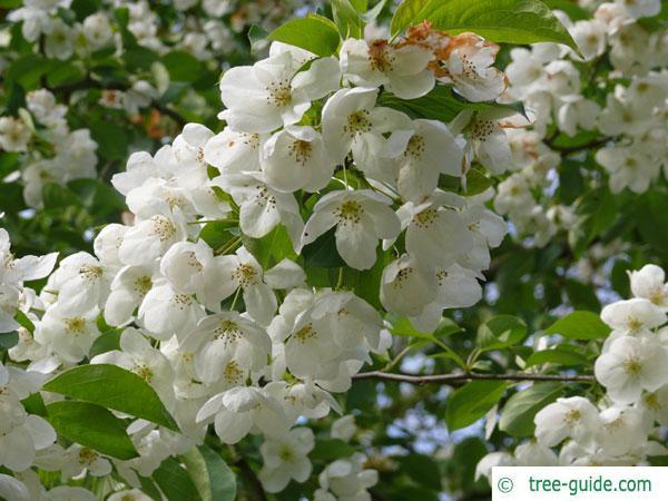 siberian crab apple (Malus baccata) blossoms
