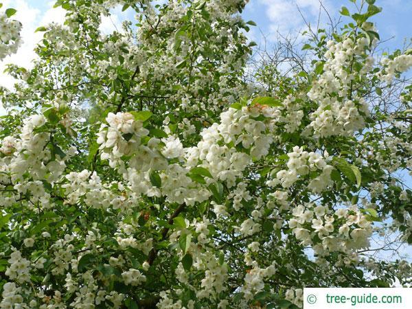 siberian crab apple (Malus baccata) blossom crown