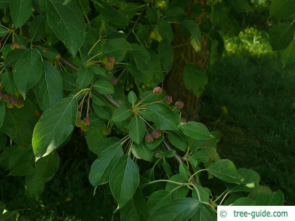 siberian crab apple (Malus baccata) leaves