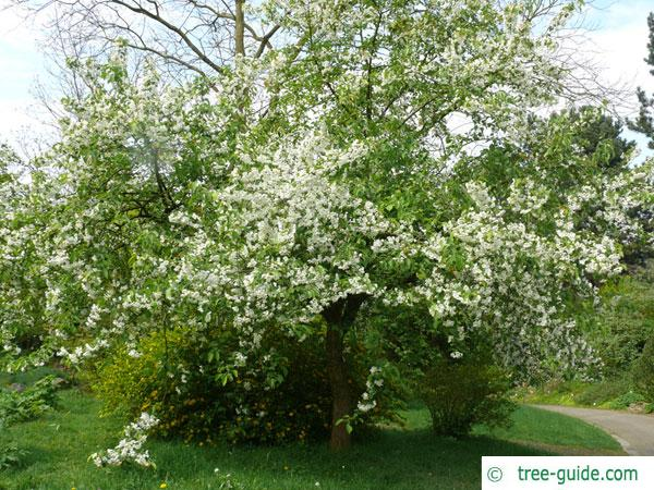 siberian crab apple (Malus baccata) flower tree in summer