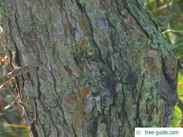 siberian crab apple (Malus baccata) trunk / bark