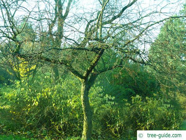 siberian crab apple (Malus baccata) tree in winter