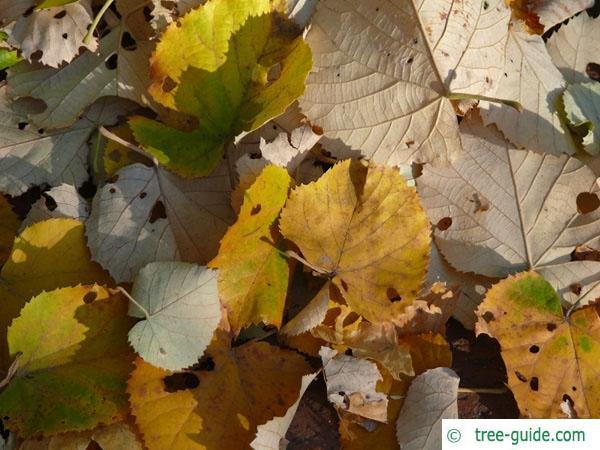 silver lime (Tilia tomentosa) trunk / bark