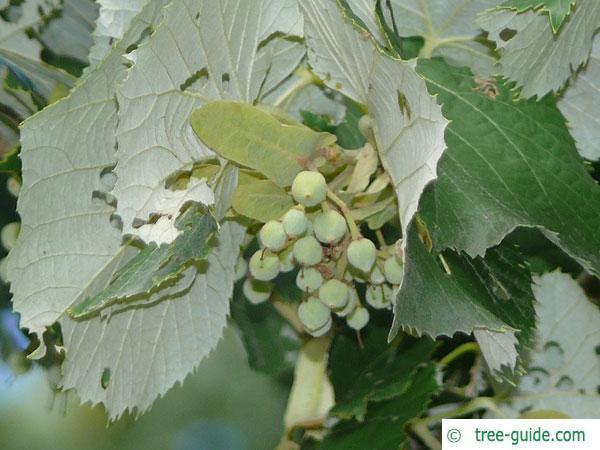 silver lime (Tilia tomentosa) fruit