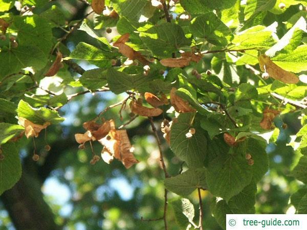 silver lime (Tilia tomentosa) foliage