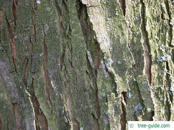 silver maple (Acer platanoides) slightly furrowed trunk