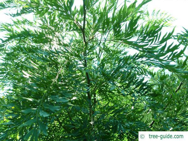 silky oak (Grevillea robusta) tree in summer