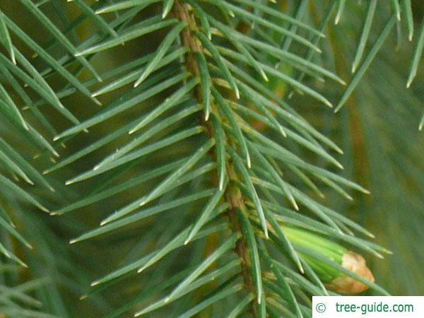sitka spruce (Picea sitchensis) needles