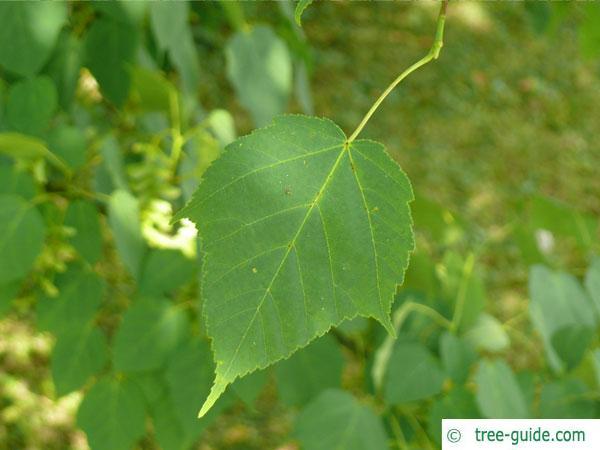 snake bark maple (Acer pectinatum subsp. laxiflorum) leaf with petiole