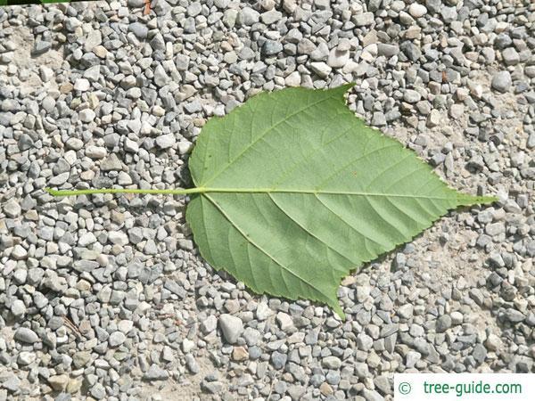snake bark maple (Acer pectinatum subsp. laxiflorum) leaf underside