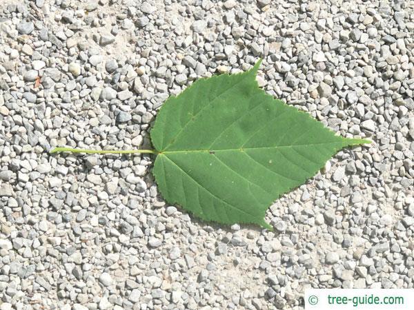 snake bark maple (Acer pectinatum subsp. laxiflorum) leaf