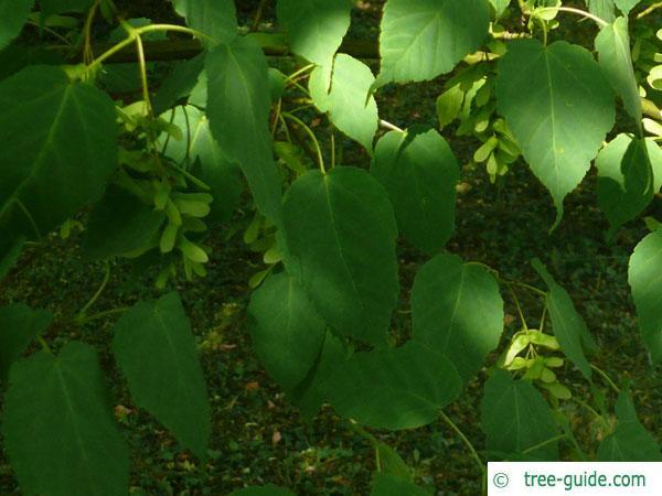 snake bark maple (Acer pectinatum subsp. laxiflorum) leaves