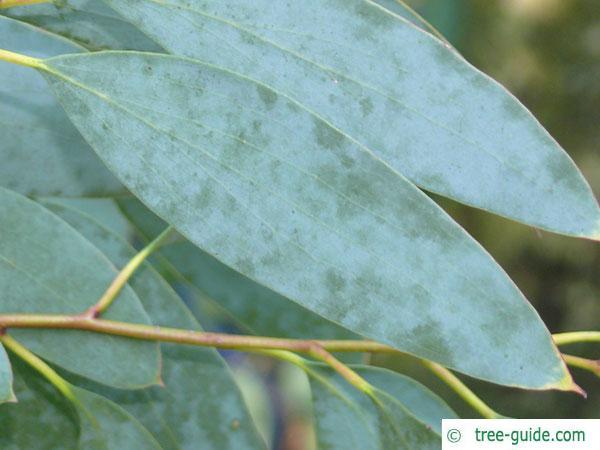 snow gum (Eucalyptus pauciflora subsp niphophila) leaf