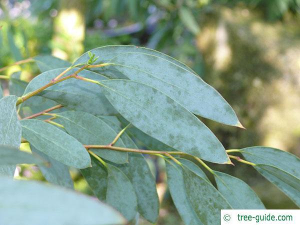 snow gum (Eucalyptus pauciflora subsp niphophila) leaves / twig